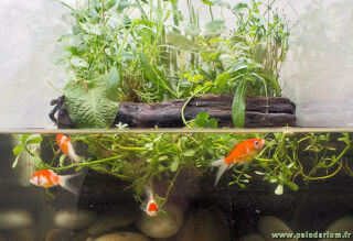 Un paludarium simple avec poissons rouges (goldfish)